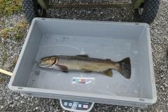 Bachforelle Abfischen r Hintergraben